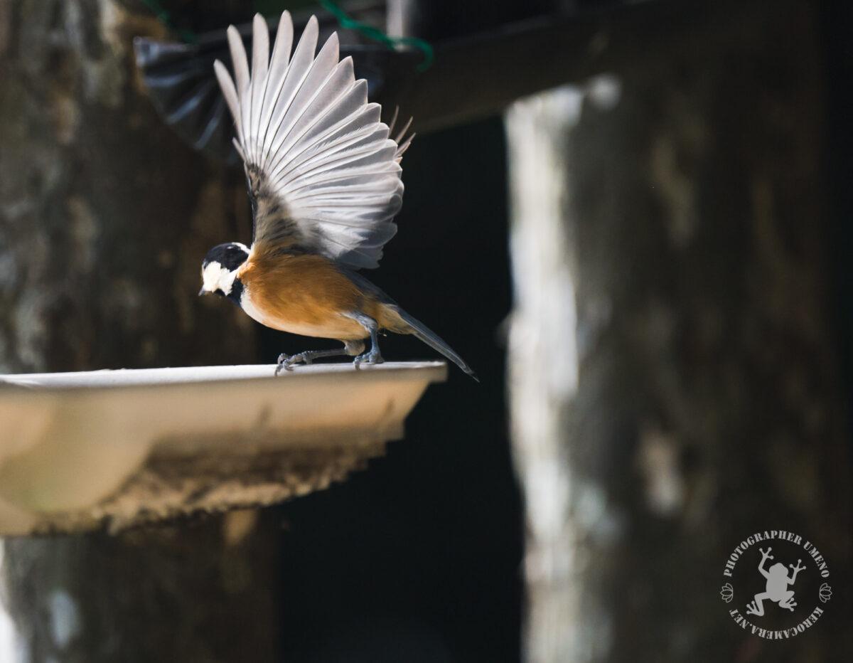 NIKKOR Z 70-200mm f/2.8 VR Sで撮影した鳥の写真