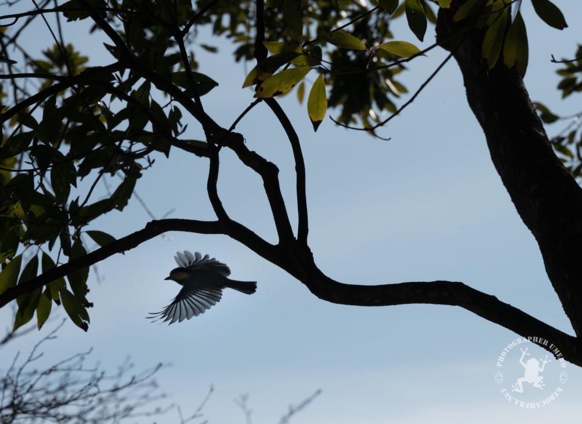ヤマガラの写真