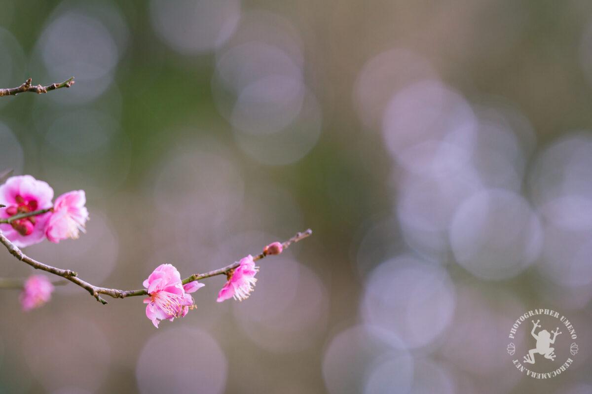 才谷龍馬公園の梅