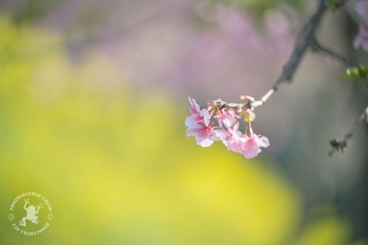 食品工業団地の河津桜