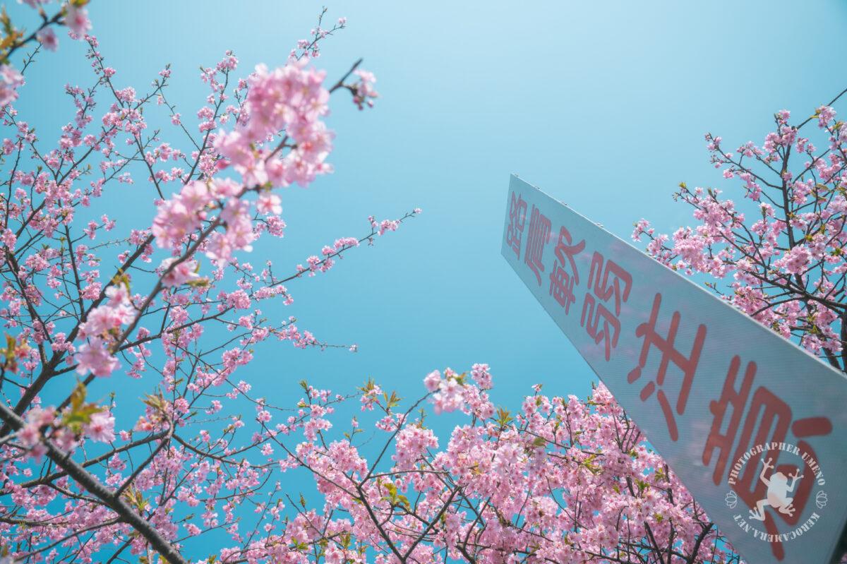 高知食品工業団地の河津桜