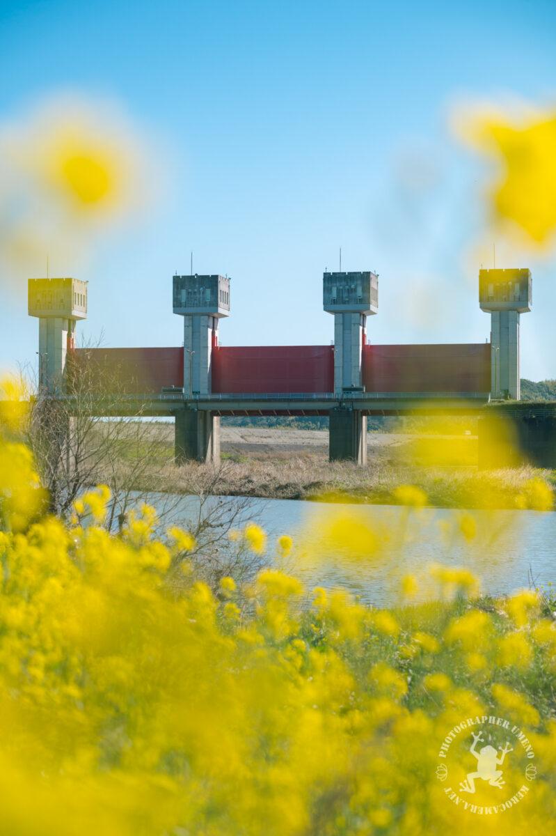 土佐市波介川沿いの菜の花の写真