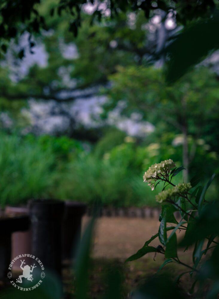 蓮池城山公園のアジサイ